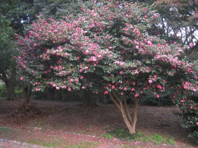 Maple Tree Chikyu Biyori Style Japan